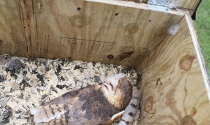A barn owl sleeps inside an owl nesting box.